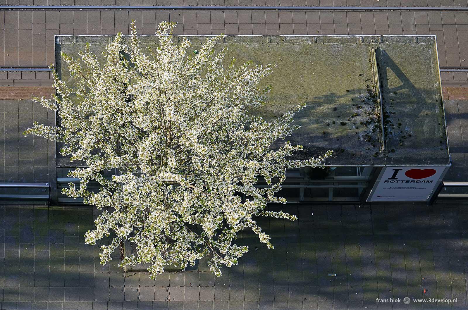 Sierkers in bloei bij een tramhalte op de Van Oldenbarneveltplaats in Rotterdam