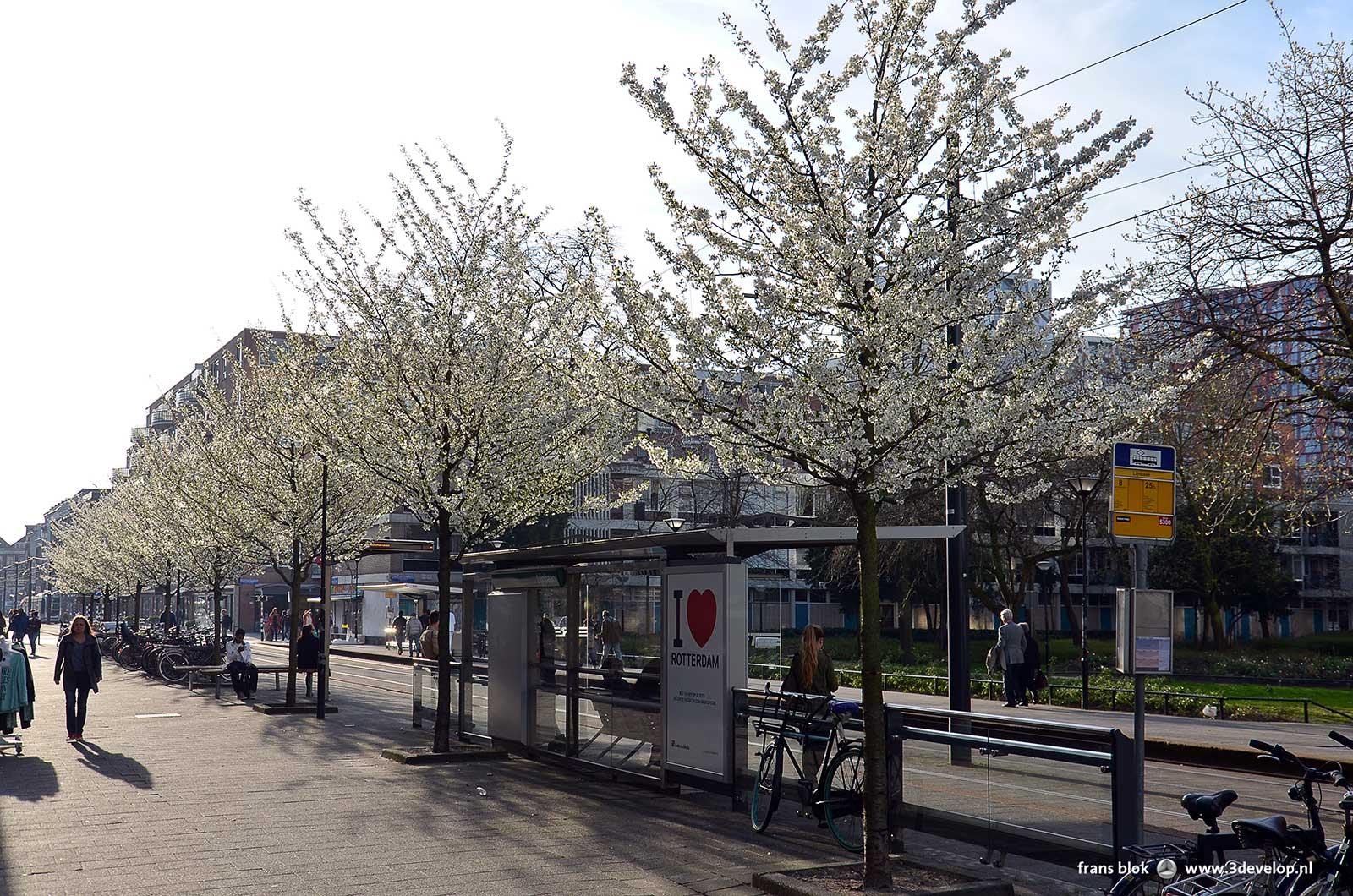 Een rijtje bloeiende sierkersen op de Van Oldenbarneveltplaats bij een van de Lijnbaanhoven in Rotterdam