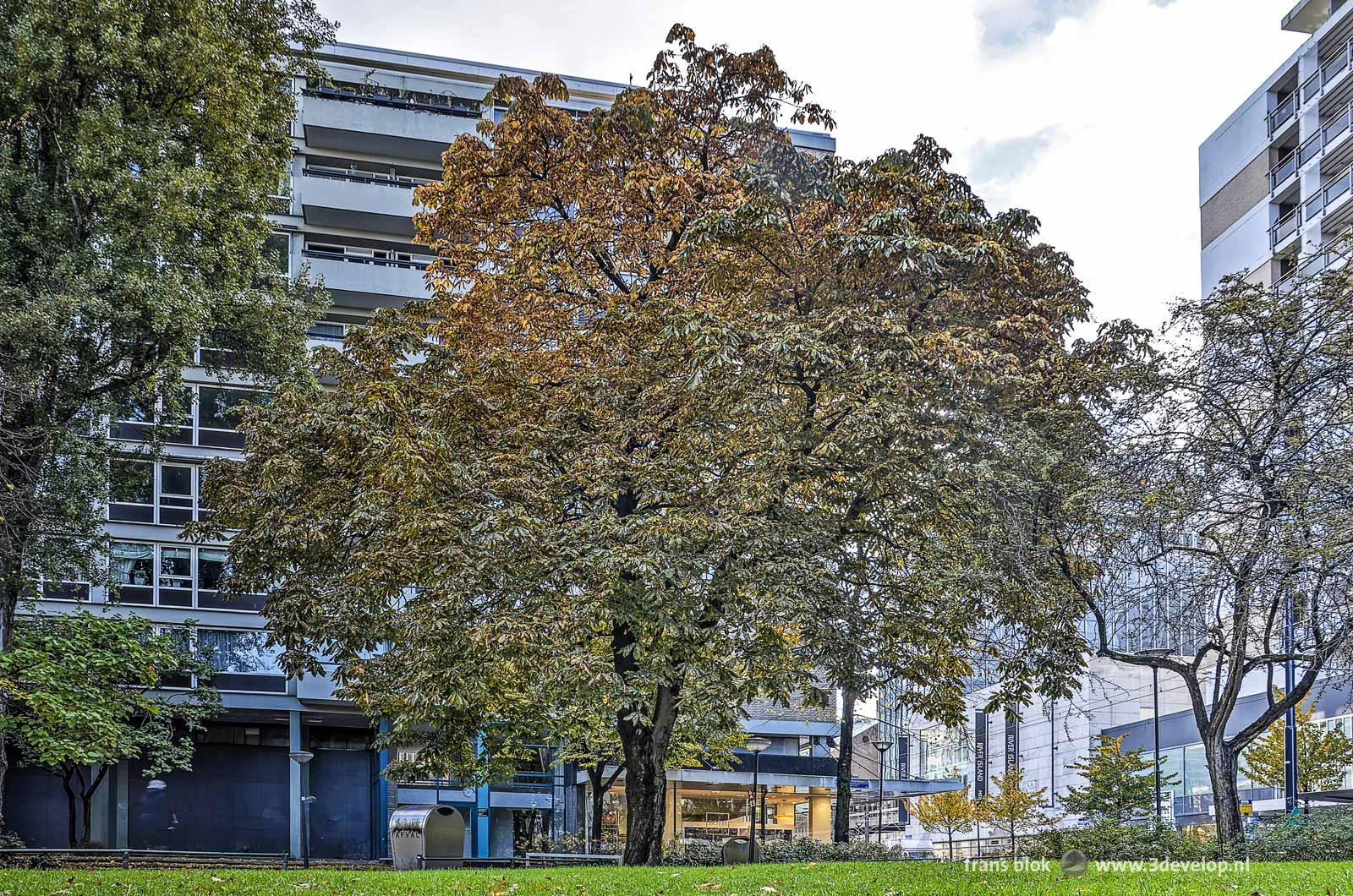 De kastanjeboom in een van de Lijnbaanhoven tijdens de herfst, gezien vanuit het omliggende park