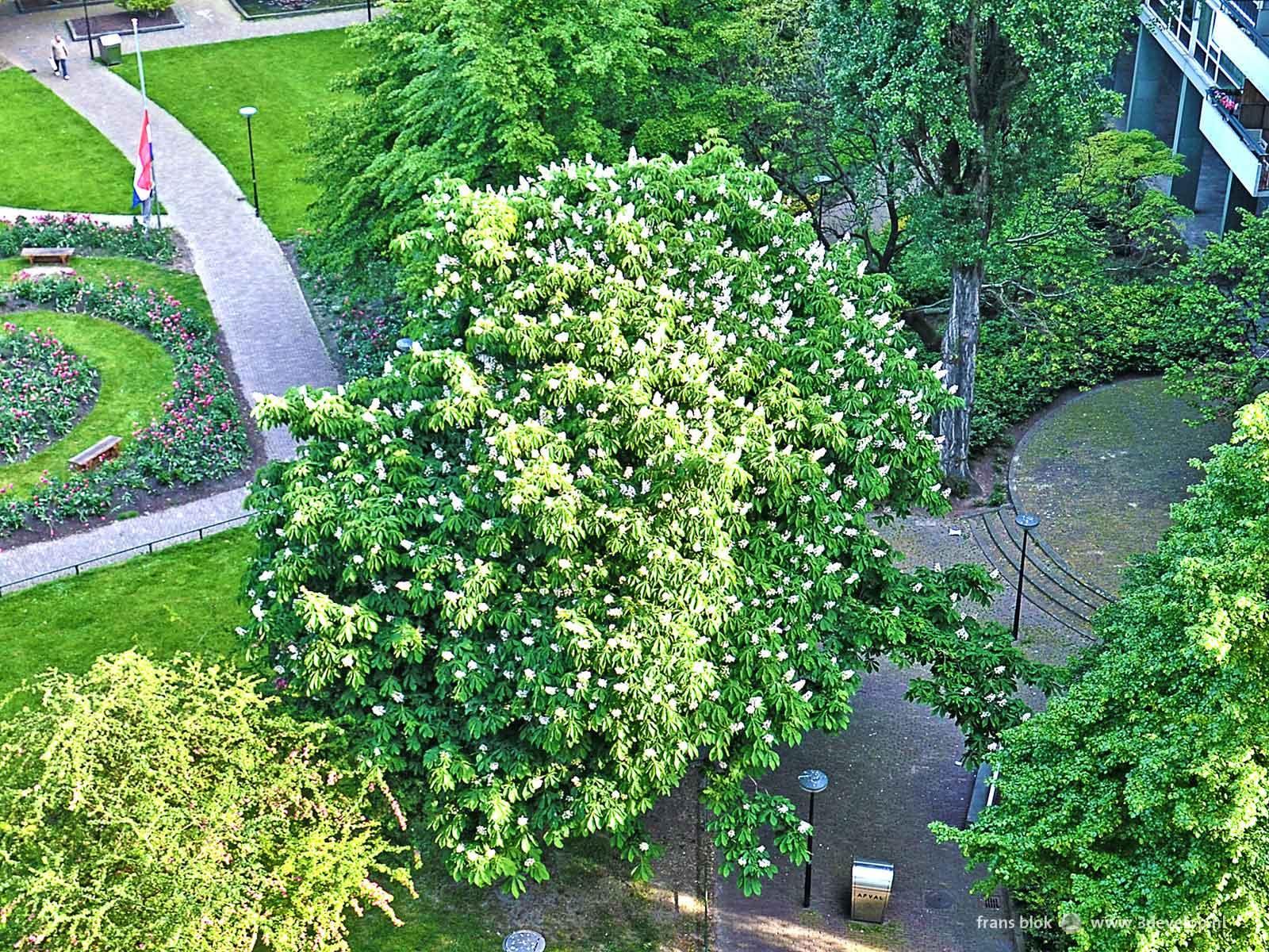 Foto van de kastanje in een van de Lijnbaanhoven in het centrum van Rotterdam, gemaakt begin mei, als de boom vol in blad staat