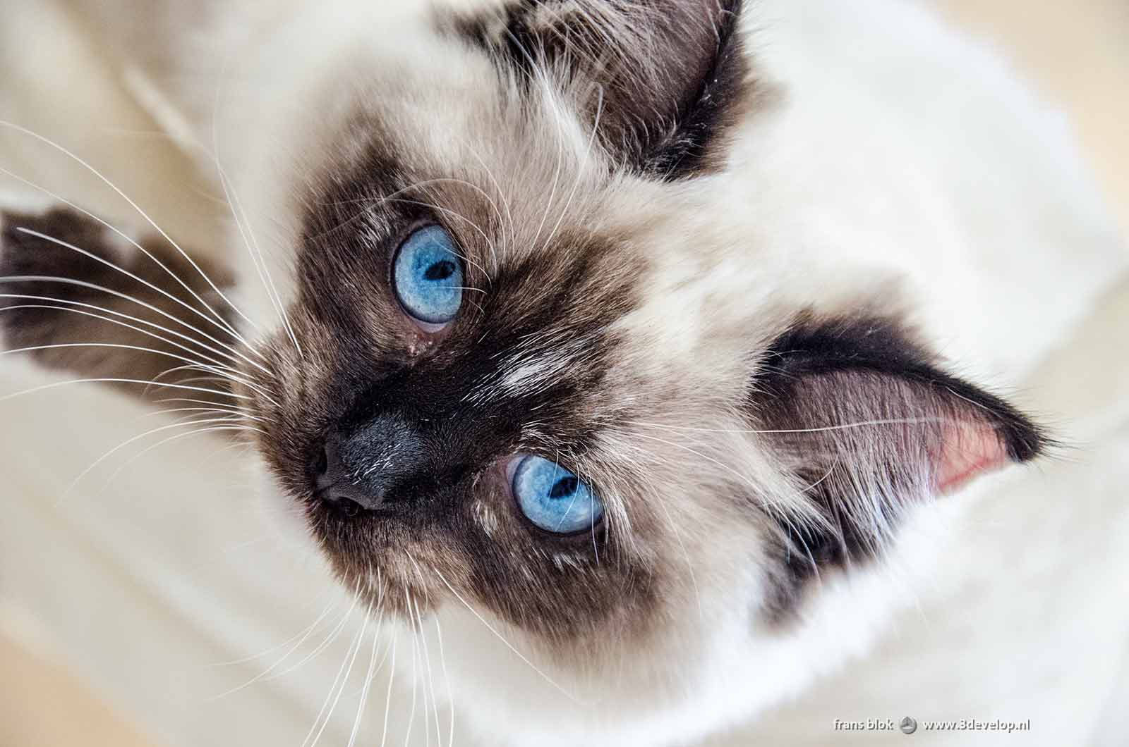 Close up of a ragdoll cat, mostly white with some black spots and clear blue eyes