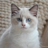 A white kitten with blue eyes is looking at the camera with a look that seems to balance between curiosity and uncertainty