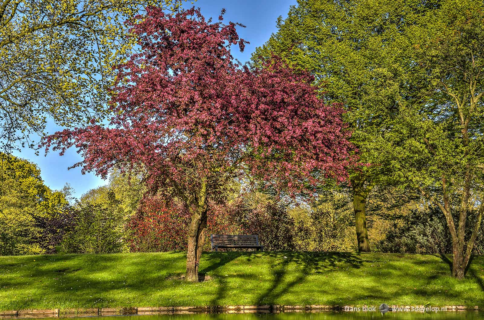 A purple red flowering cherry tree at the edge of a pond in The Park in Rotterdam