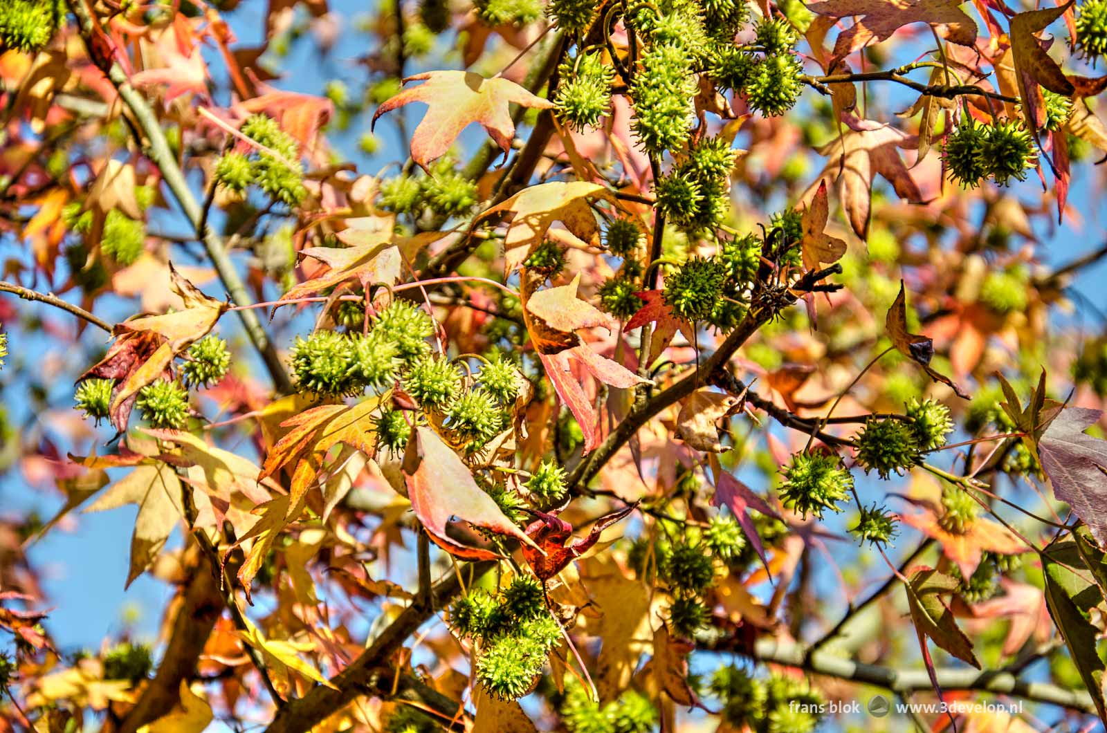 A sweetgum tree with red cannabis-shaped leafs and green spiky fruits, seen against a blue sky
