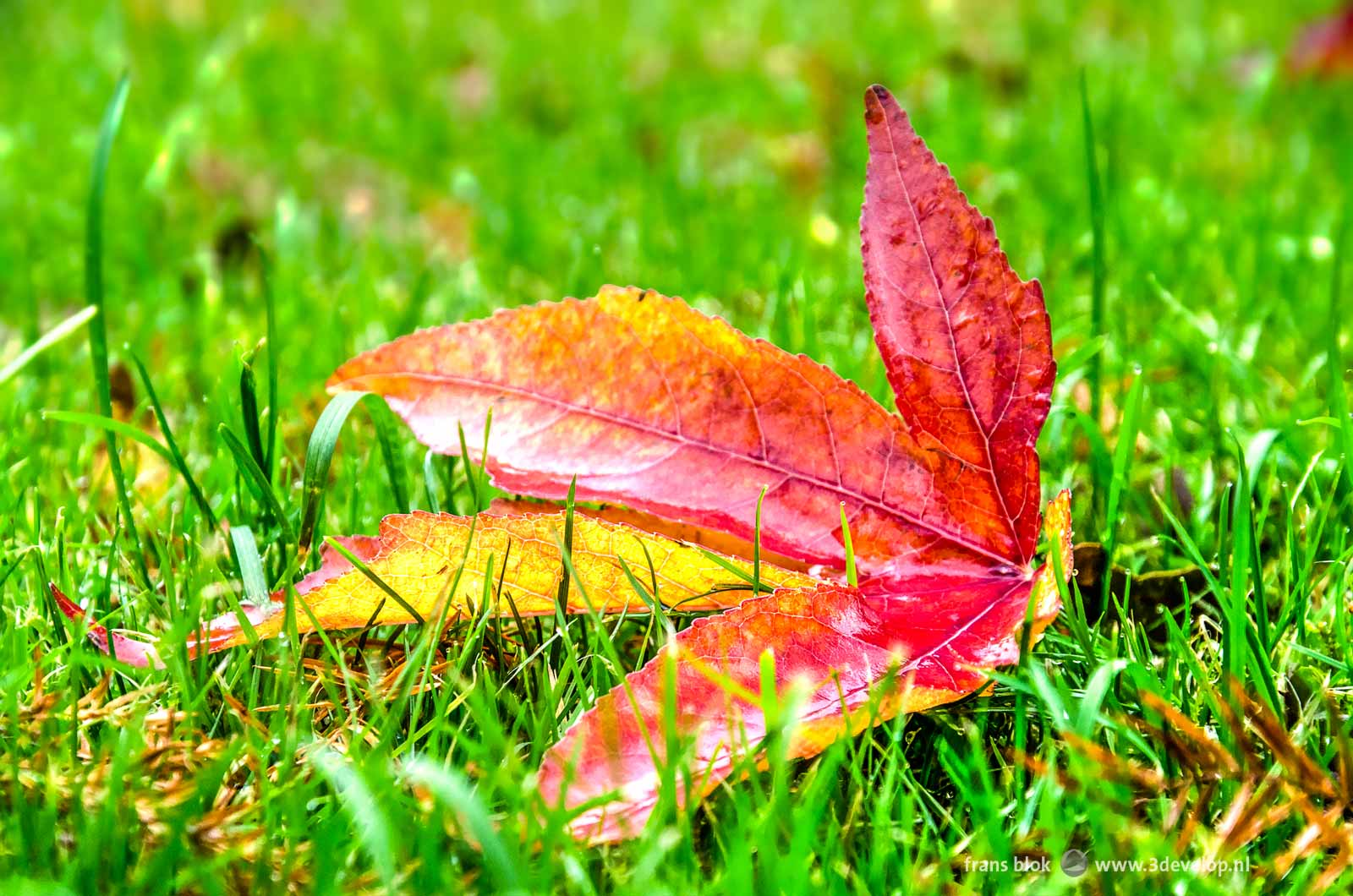 A freshly fallen leaf of a sweetgum tree, red with some yellow, in the grass in autumn