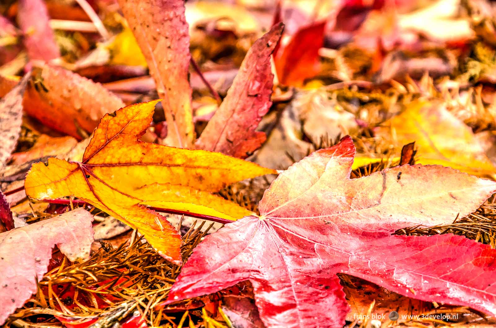 Close-up of two leaves in autumn, a yellow and red one, on the ground amidst other fallen leaves
