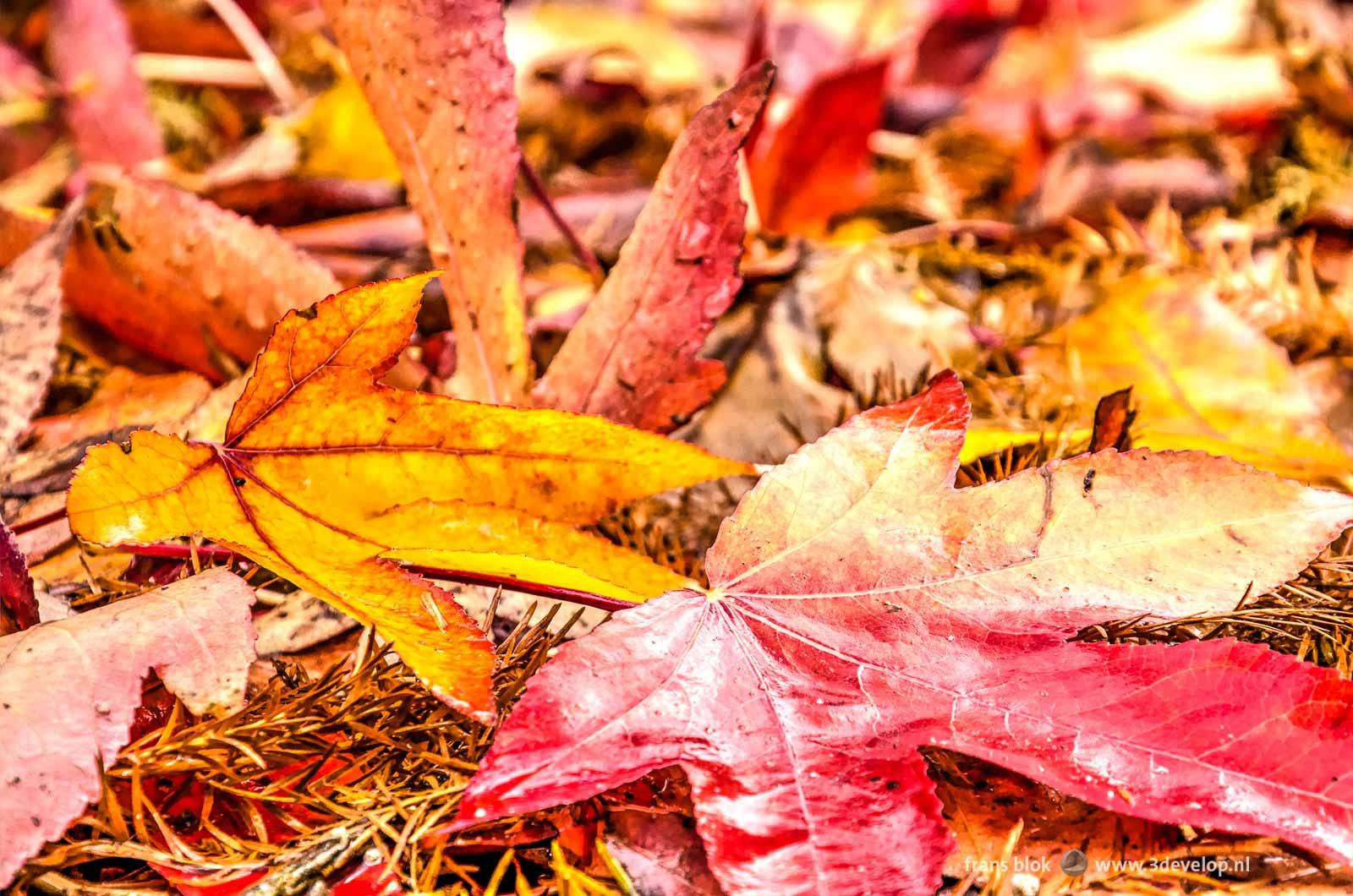 Close-up van twee bladeren in de herfst, een rood en een geel,liggend op de grond tussen andere gevallen bladeren.