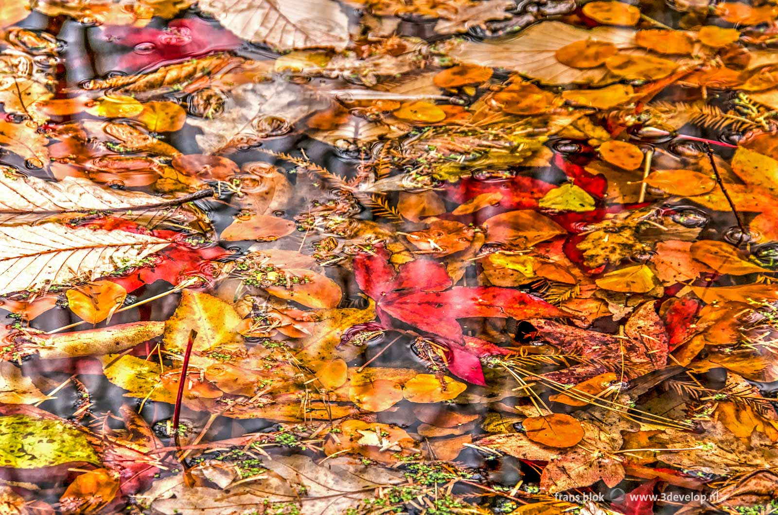 Collage of fallen autumn leaves, most of them red, brown or yellow, in a pond in november