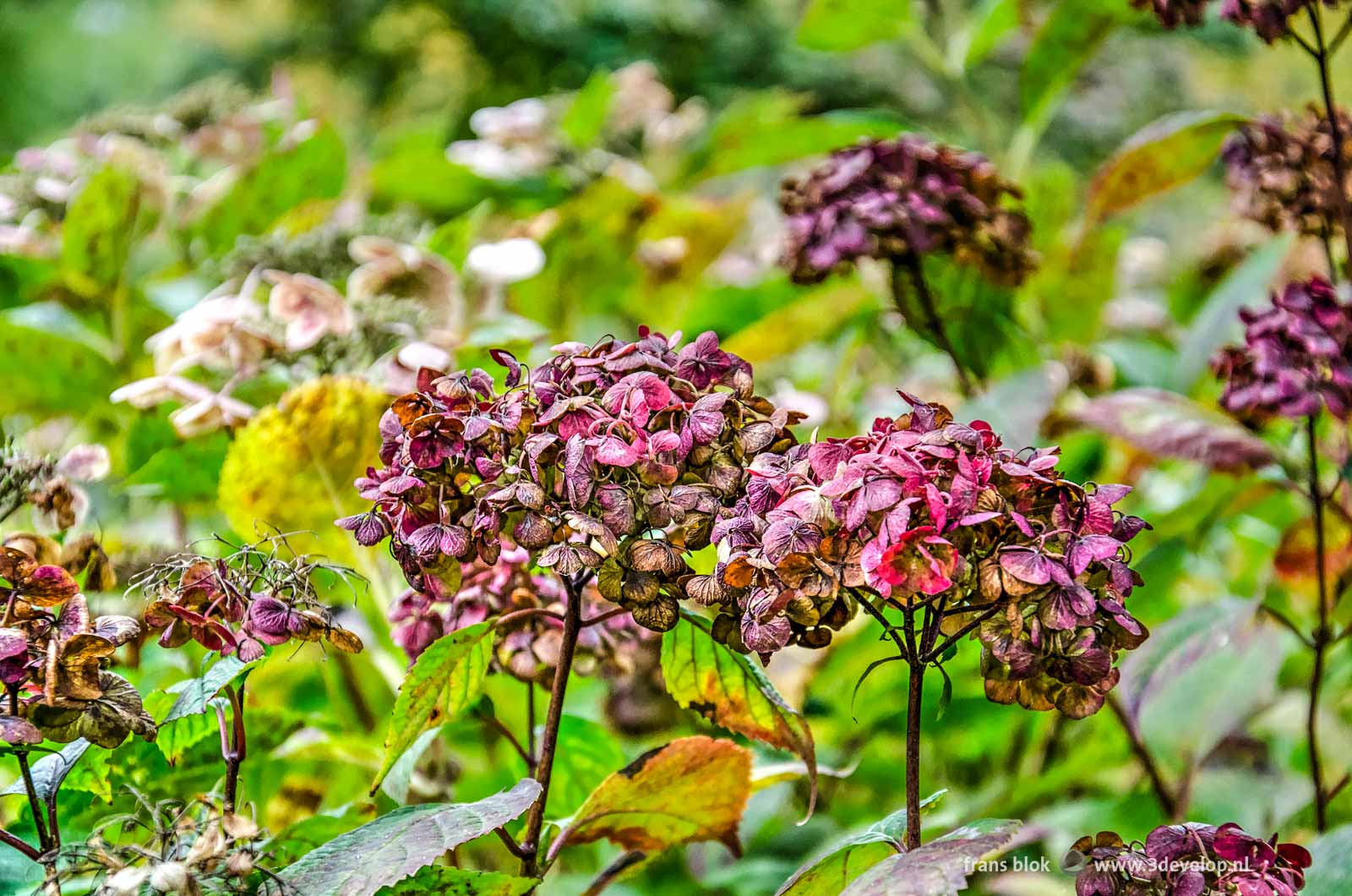 Hortensias in autumn in The Park in Rotterdam