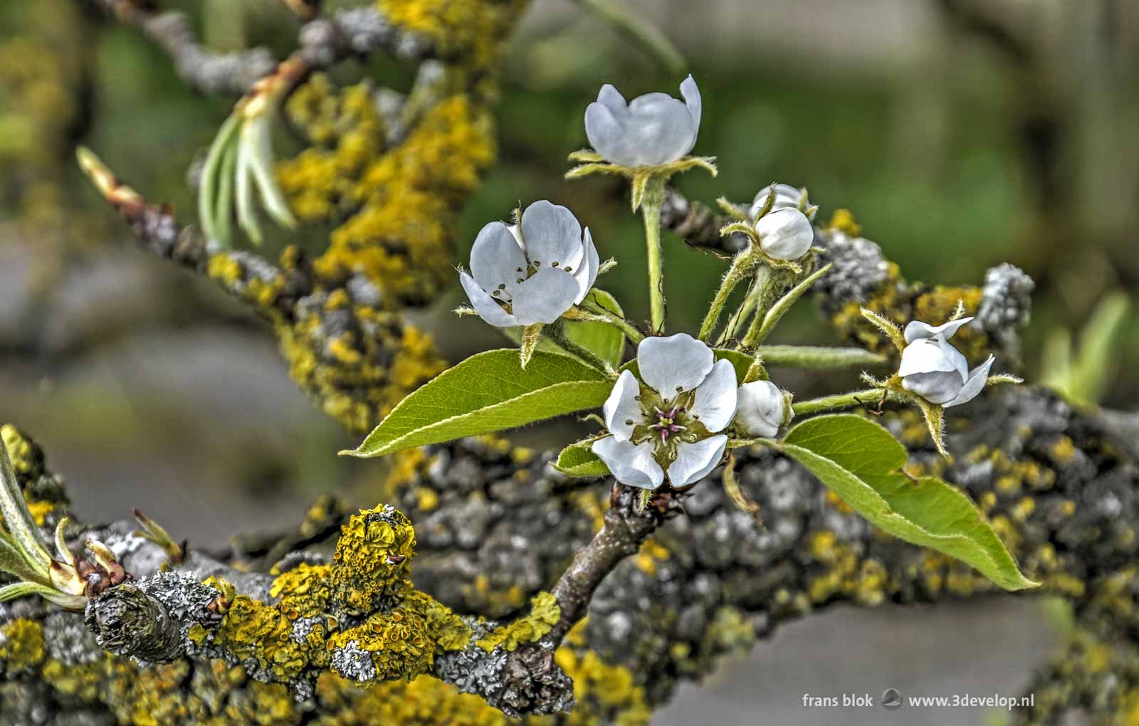 Close-up of pear blossoom in springtime, captured at Diefdijk in the Betuwe region in the Netherlands