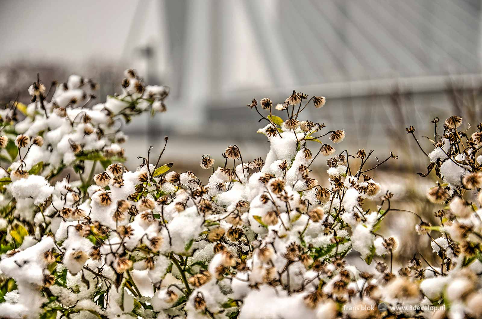 Flowers on Leuvehoofd park in Rotterdam covered with a layer of snow, with Erasmus Bridge in the background