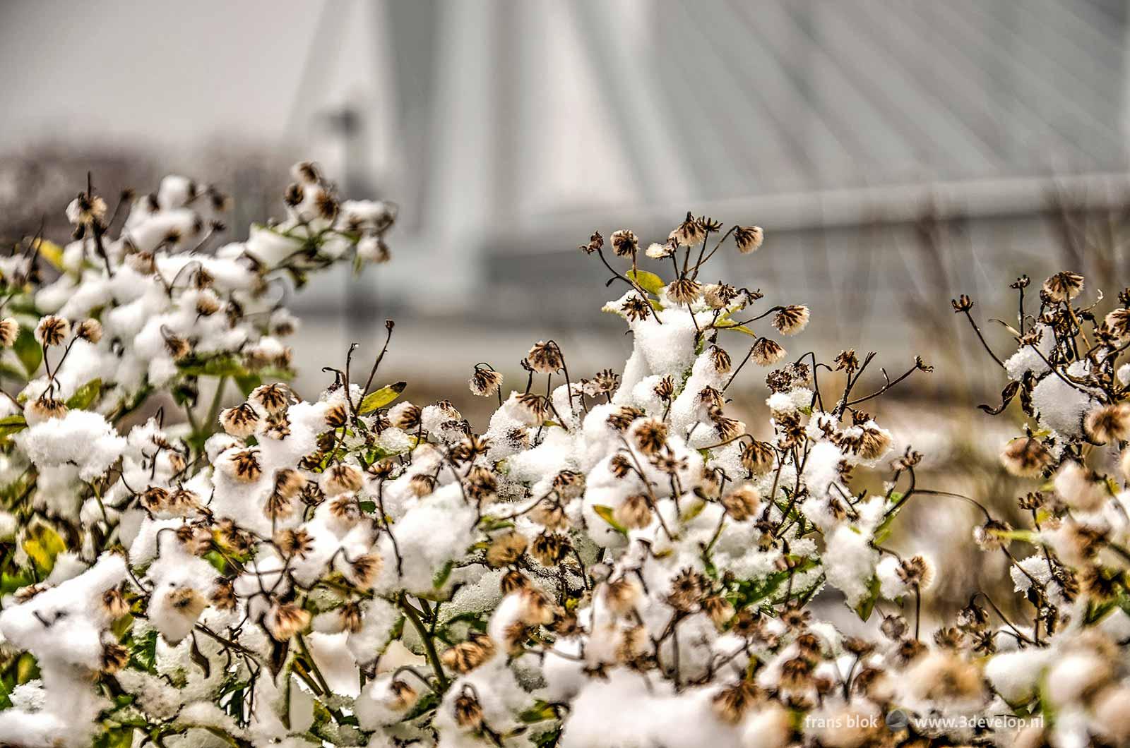 Bloemen op het Leuvehoofd in Rotterdam bedekt met een laagje sneeuw, met op de achtergrond vaag de Erasmusbrug