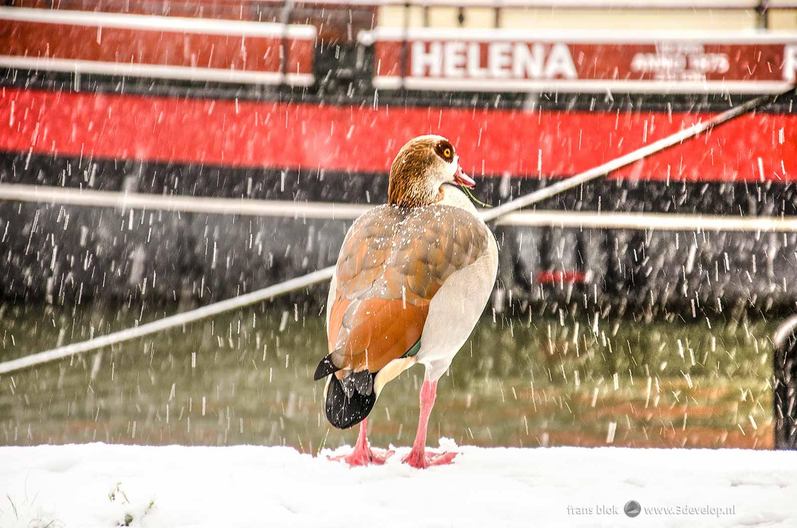 Een Nijlgans trotseert een sneeuwbui op de kade van het Maritiem Museum bij de Leuvehaven in Rotterdam
