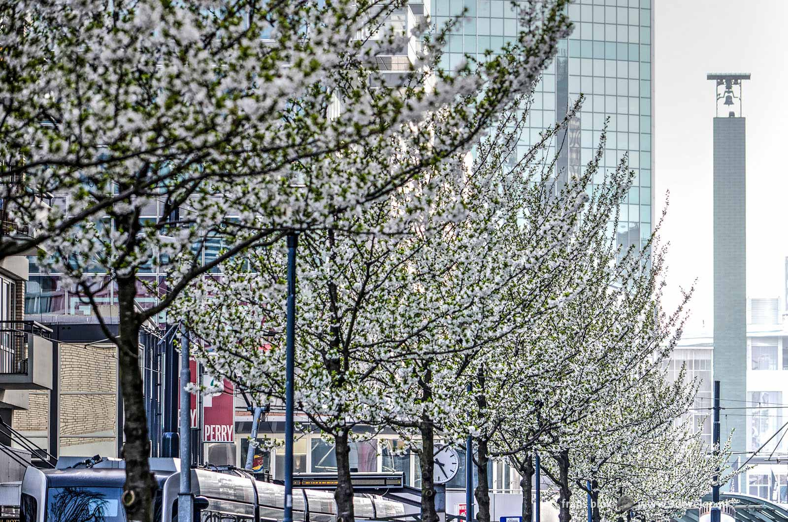 White flowering cherry trees on Van Oldenbarneveltplaats in downtown Rotterdam
