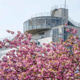 A prunus tree, more specifically a Japanese cherry, in bloom in springtime near Unesco world heritage Van Nelle factory in Rotterdam