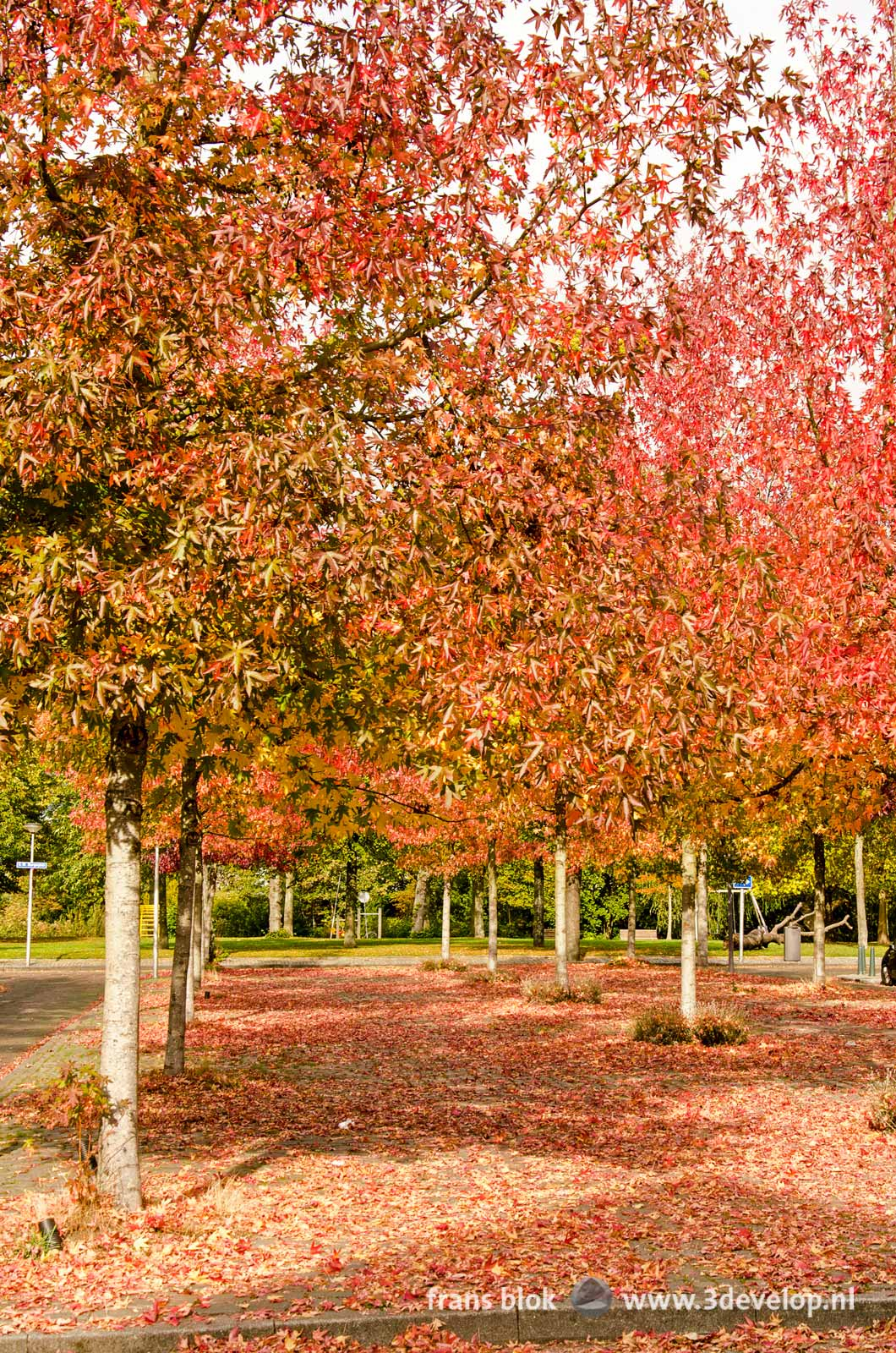 Three rows of sweet gum trees (liquidambar styraciflua) in autumn, on a square in Rotterdam-West