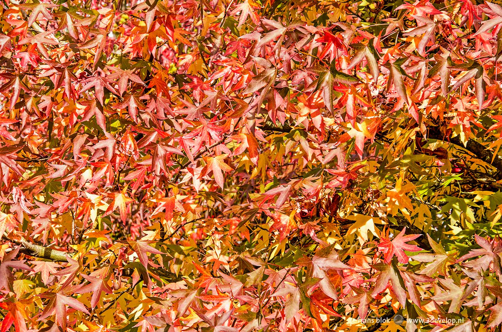 Almost abstract and multicolored image of the leaves of a sweet gum tree (liquidambar styraciflua) in autumn