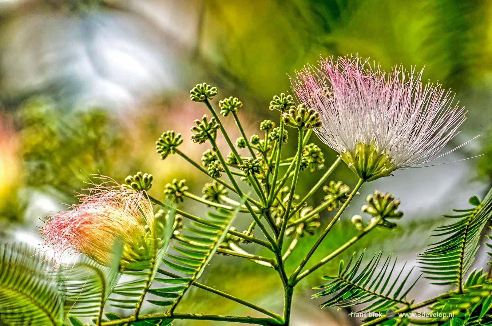 Detailfoto van de bloemen van een albizia, oftewel een Perzische slaapboom