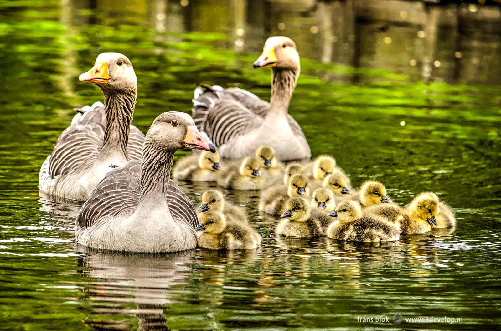 Een klasje ganzen, drie volwassenen en vijftien jonkies, in het voorjaar in een singel in Kralingen, Rotterdam