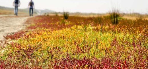 Veld met zeekraal in de rastakleuren rood, geel en groen bij het strand van de Kwade Hoek op Goeree-Overflakkee, met twee wandelaars op de achtergrond