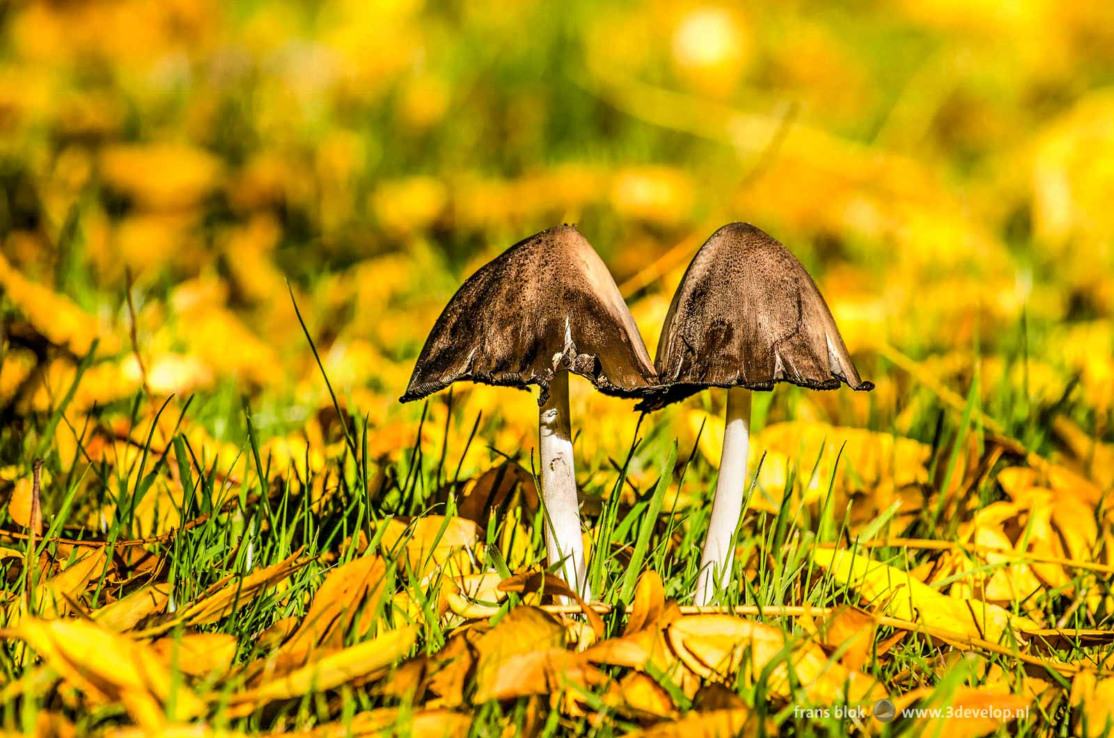 Two mushrooms between fallen leaves on a lawn in autumn