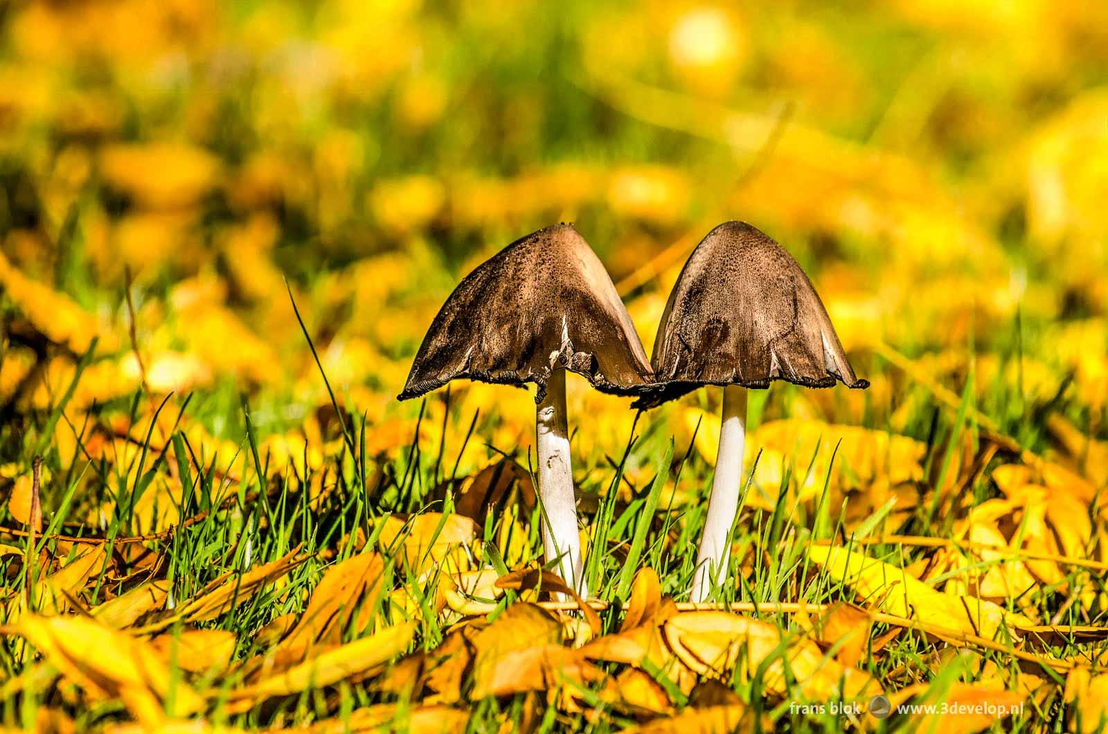Twee paddenstoelen tussen de gevallen bladeren op een grasveld in de herfst