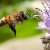Close-up of a bee hovering near a purple phacelia flower on a balcony in Rotterdam, Holland