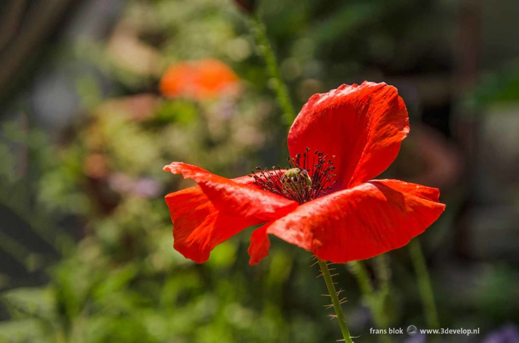 Close-up of a fiery red poppy against a predominantly green background