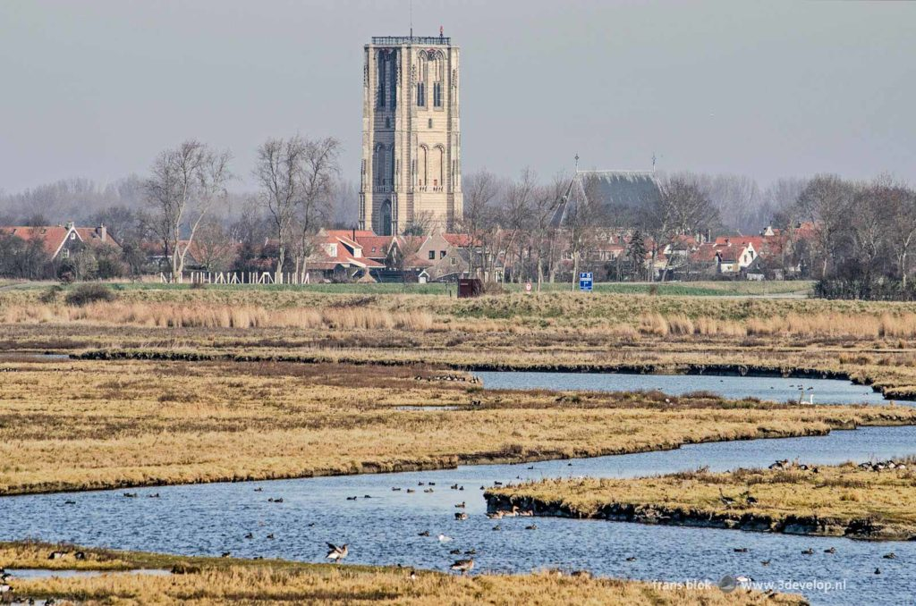 Reeds and creeks with geese and ducks on the island of Goeree, The Netherlands with the characteristic church tower of the town of Goedereede in the background
