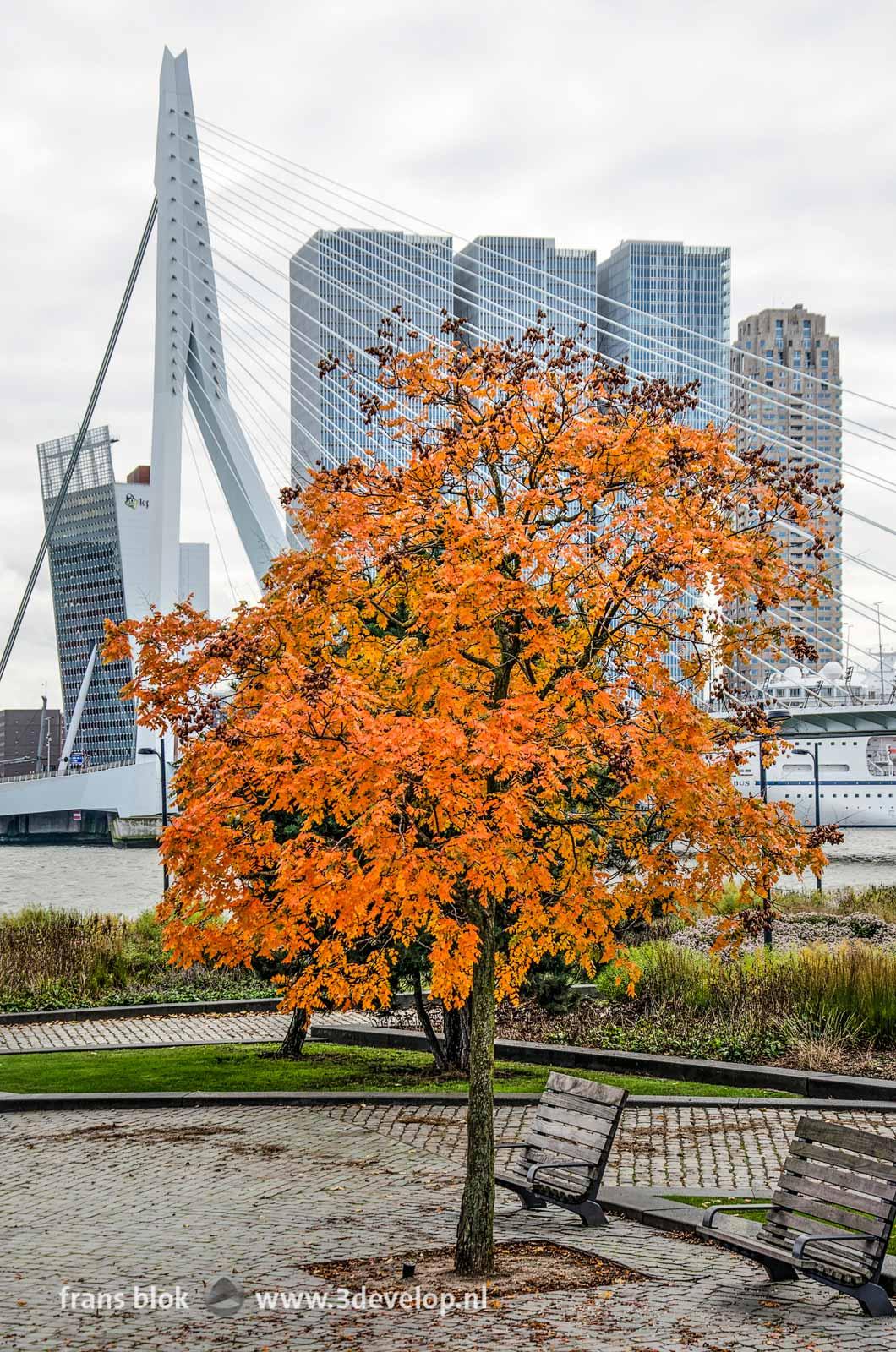Varnish tree (koelreuteria paniculata) in autumn color, in the little park at Leuvehoofd near Erasmus bridge in Rotterdam, The Netherlands