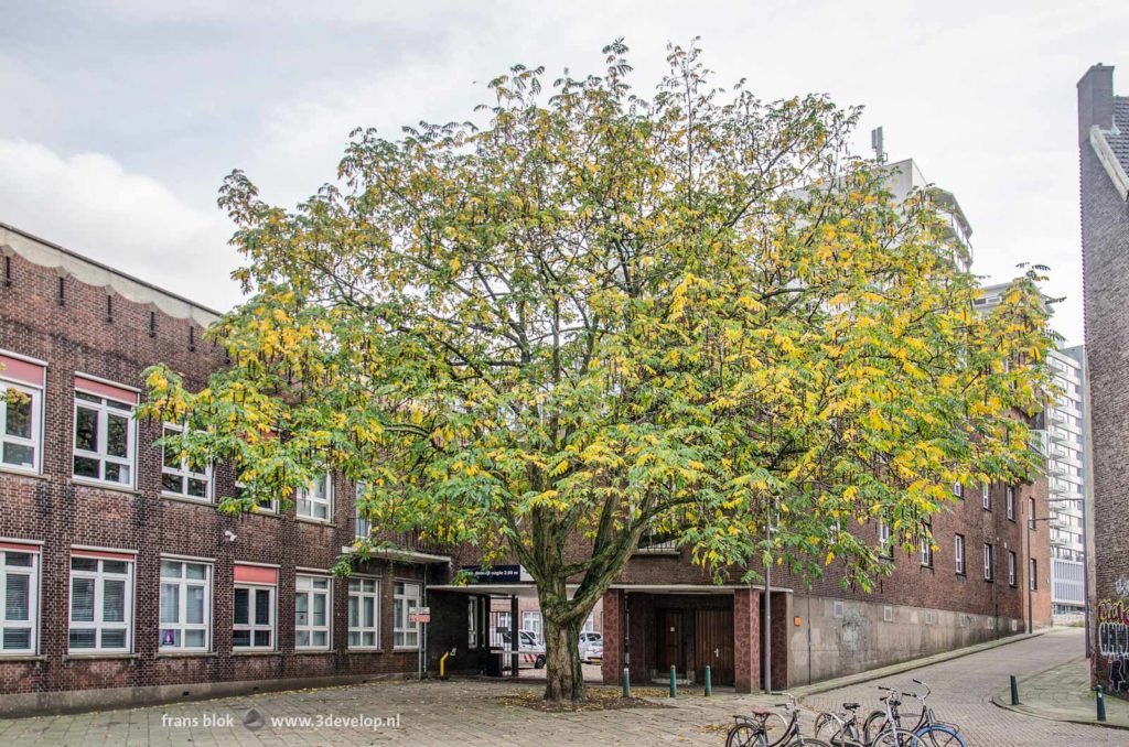 Caucasian wingnut (pterocarya fraxinifolia) in autumn in a back street in Rotterdam, the Netherlands