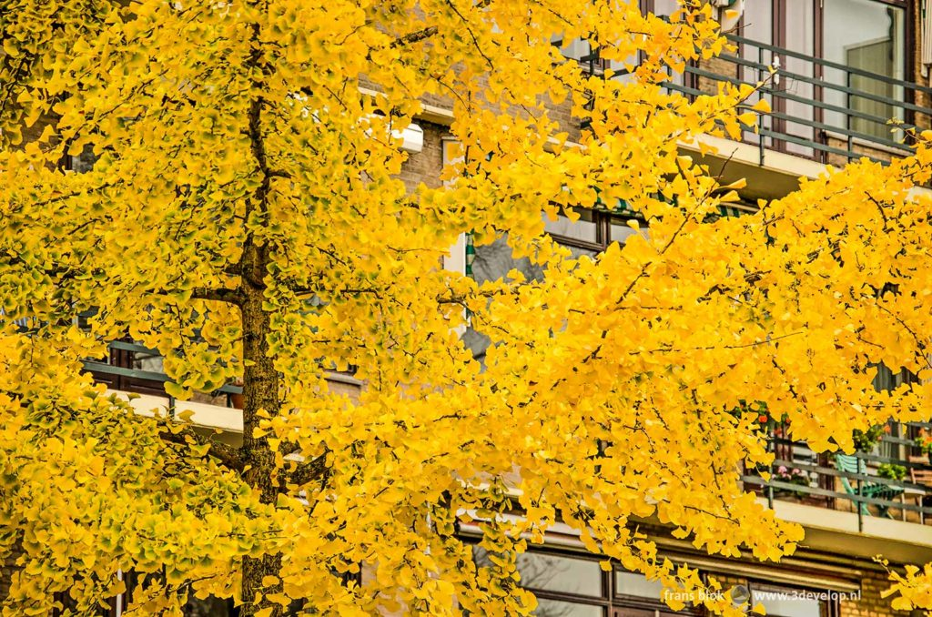 Ginkgo biloba tree with bright yellow leaves in a street in Blijdorp neighbourhood in Rotterdam, The Netherlands