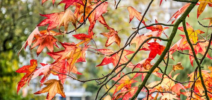 Branches and red leaves of a sweet gum tree (liquidambar styraciflua) in the Park in Rotterdam, The Netherlands