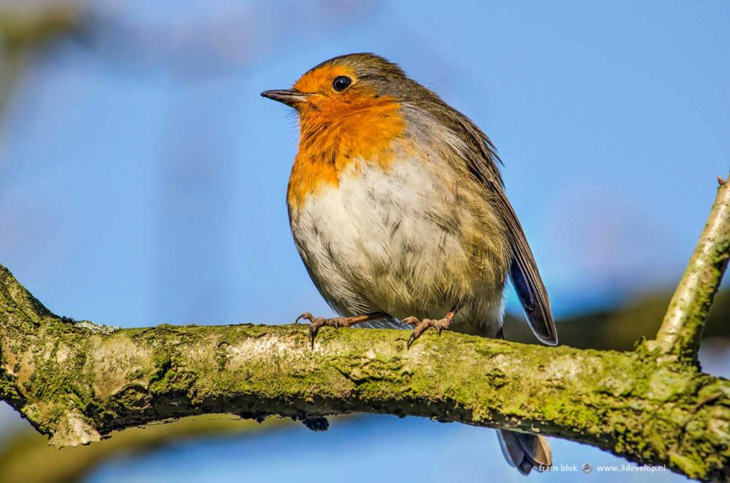 Close-up of a robin on a branch against a blue sky