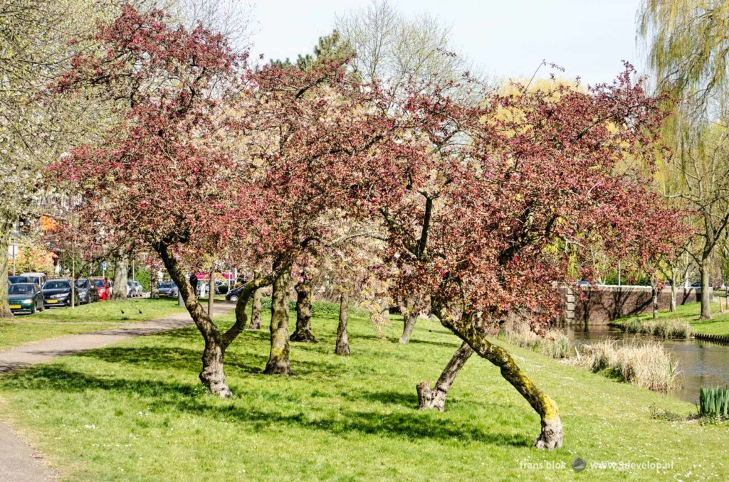 Blossoming trees in the green slope along Statensingel canal in Blijdorp neighbourhood in Rotterdam in springtime