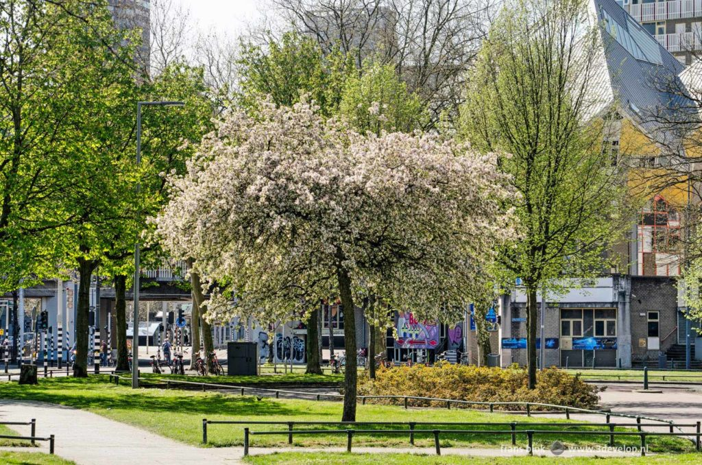 Flowering prunus tree near the Cube Houses in downtown Rotterdam in springtime