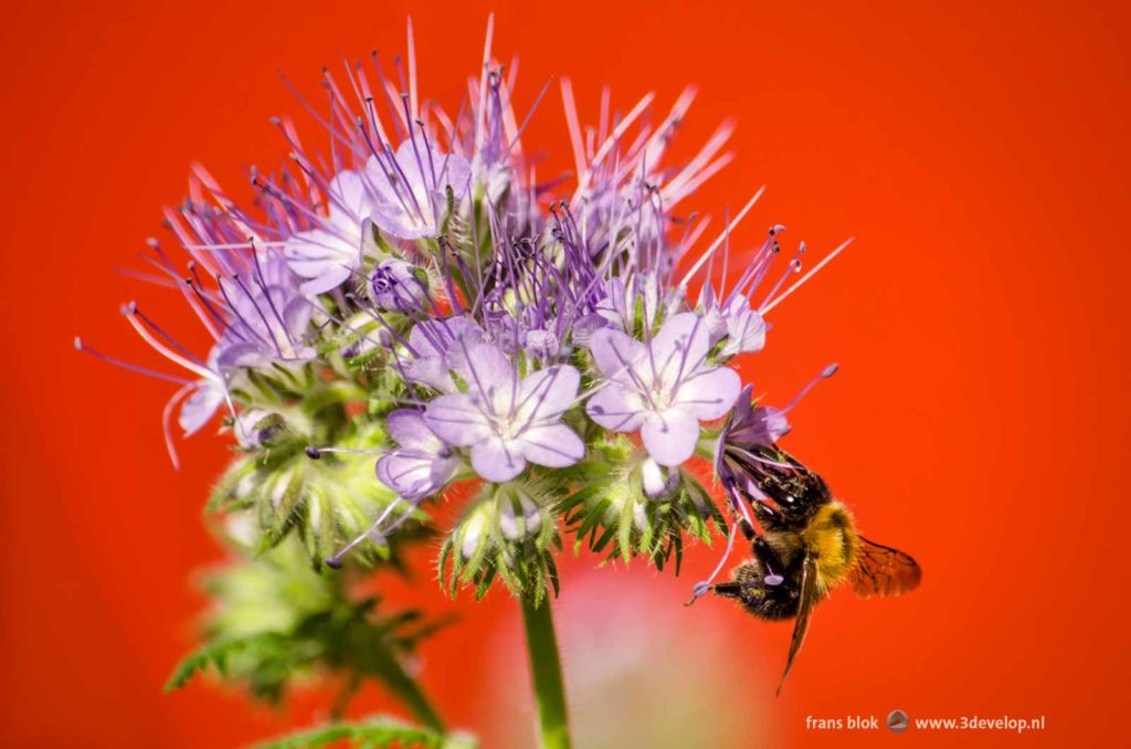A bee harvesting nectar from a phacelia flower on an urban balcony