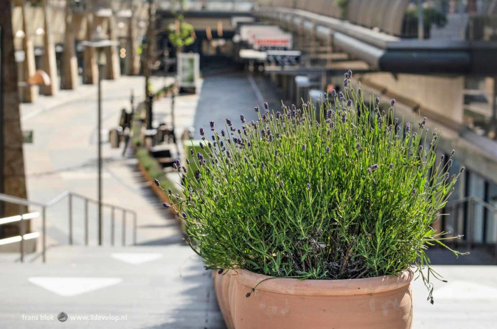 Pot with lavender in Buerstraverse/Koopgoot, the sunken shopping street in downtown Rotterdam, the Netherlands, as a measure to seperate flows of pedestrians and prevent spreading of covid-19
