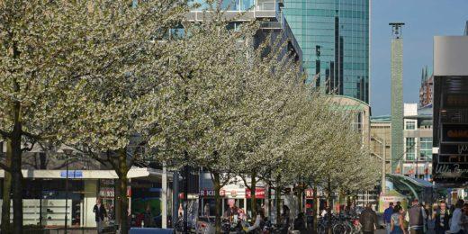 De witte bloesem van sierkersen in de lente op de Van Oldenbarneveltplaats in Rotterdam
