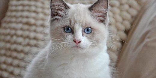 Een wit katje met blauwe ogen kijkt naar de camera met een blik die het midden lijkt te houden tussen nieuwsgierigheid en onzekerheid