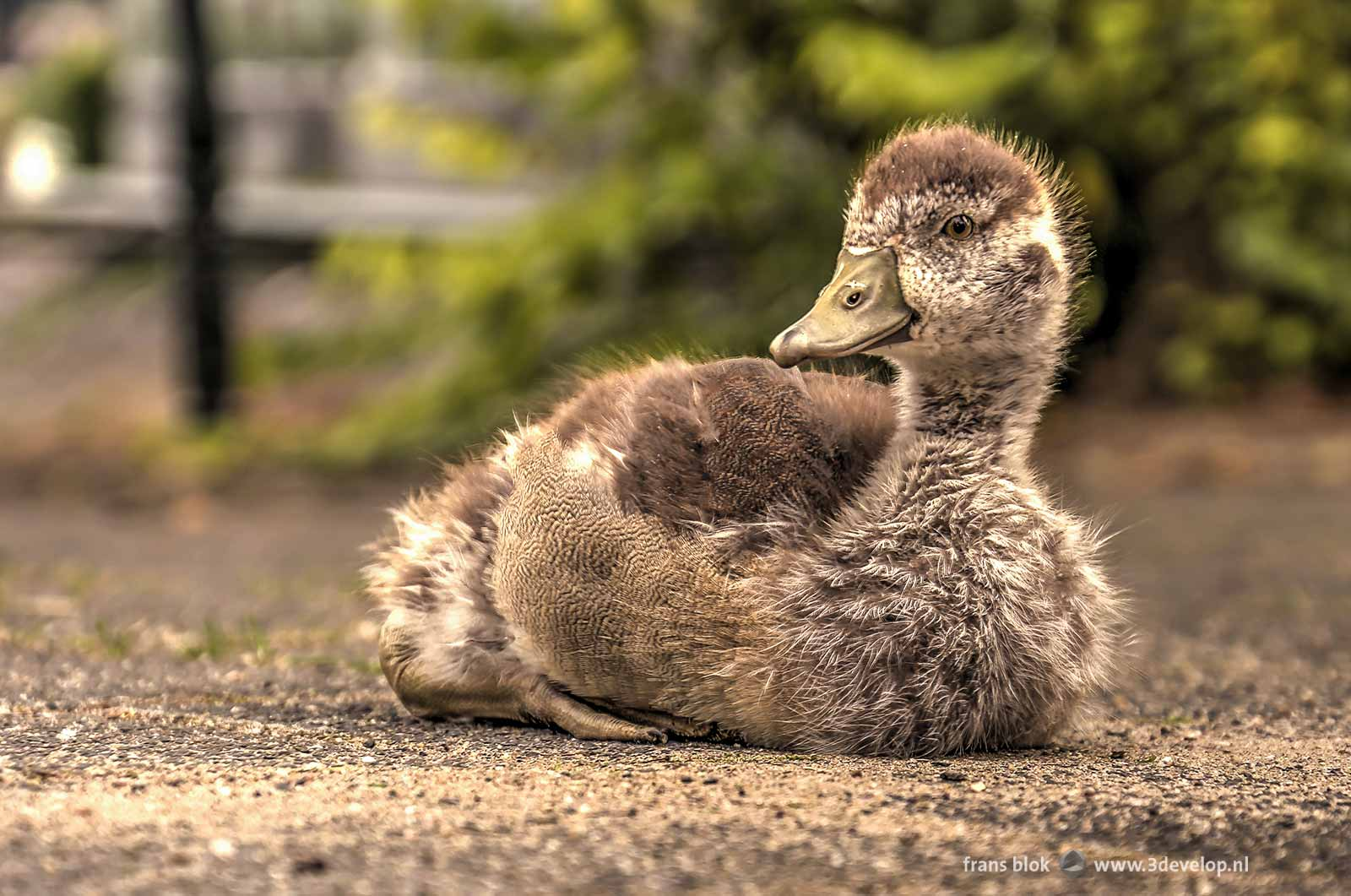 A young urban Nile Gosling on the sidewalk in the Veerhaven in Rotterdam