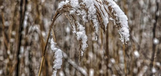 Snow-covered reed in the Hitland near Capelle aan den IJssel, The Netherlands