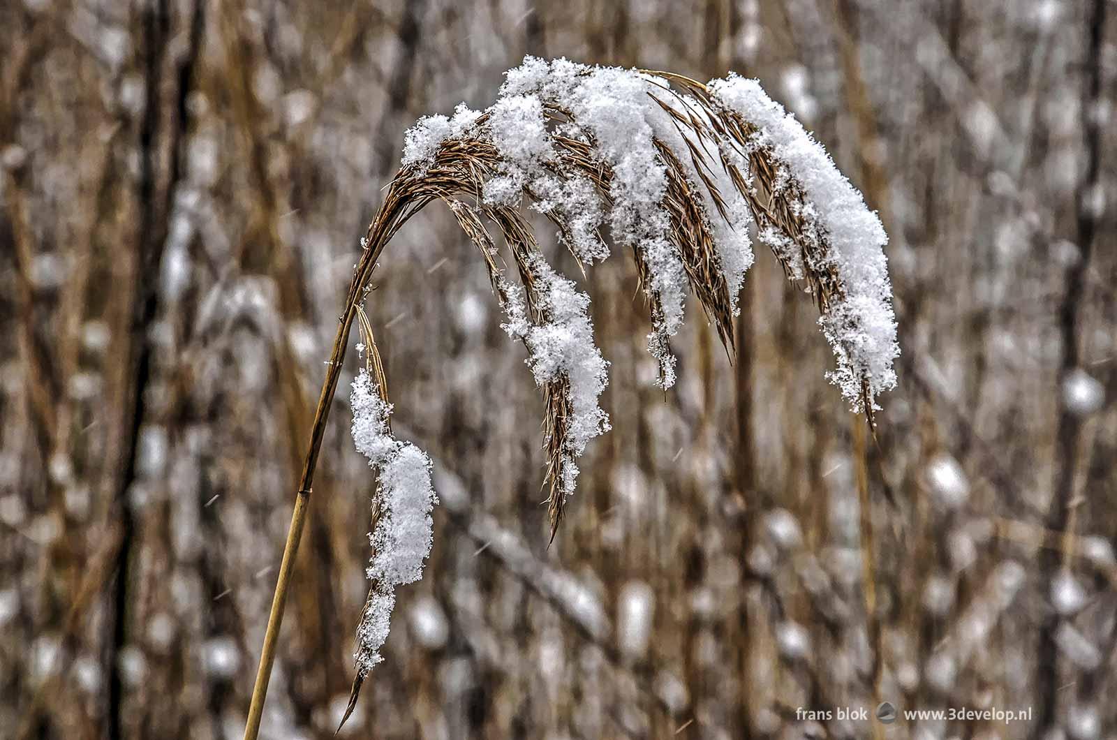 Rietpluim, met sneeuw bedekt, in het Hitland bij Capelle aan den IJssel