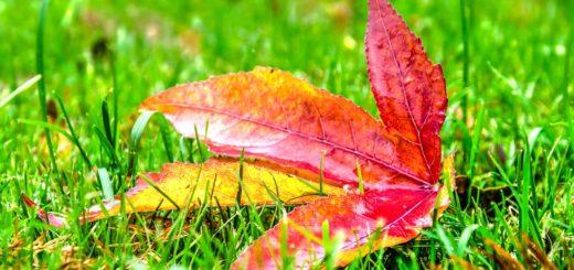 Een pas gevallen blad van een amberboom, rood met een toefje geel, in het gras tijdens de herfst