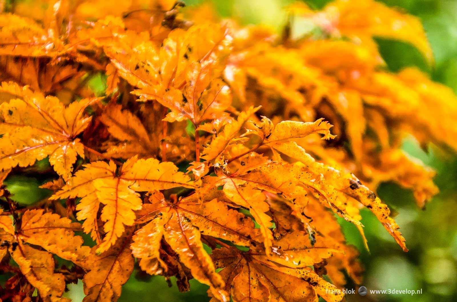 Humid yellow brown leaves of an oak tree in autumn