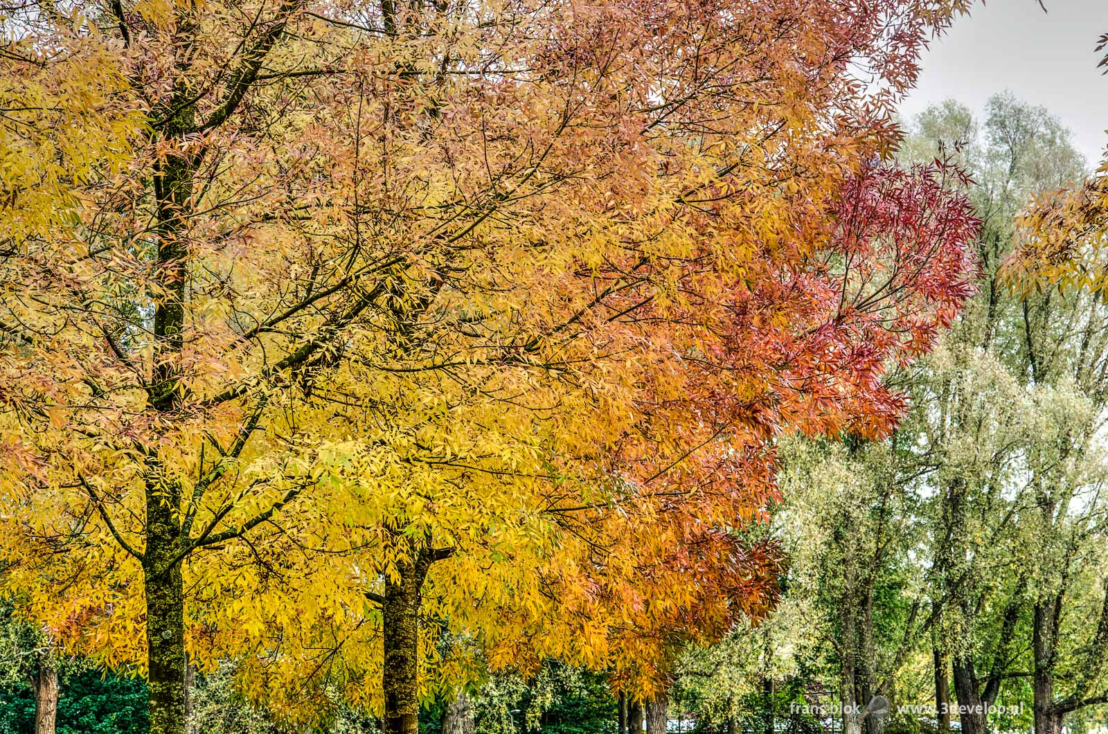 Autumn image with in the foreground twee yellow and red tree and on the background some predominantly still green trees