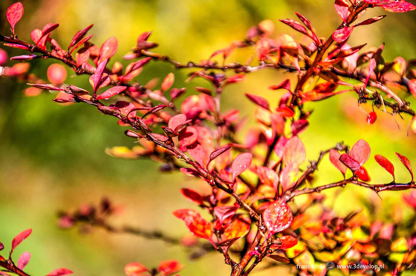 Close-up of a shrub with red leaves against a yellow and green blurry background in autumn