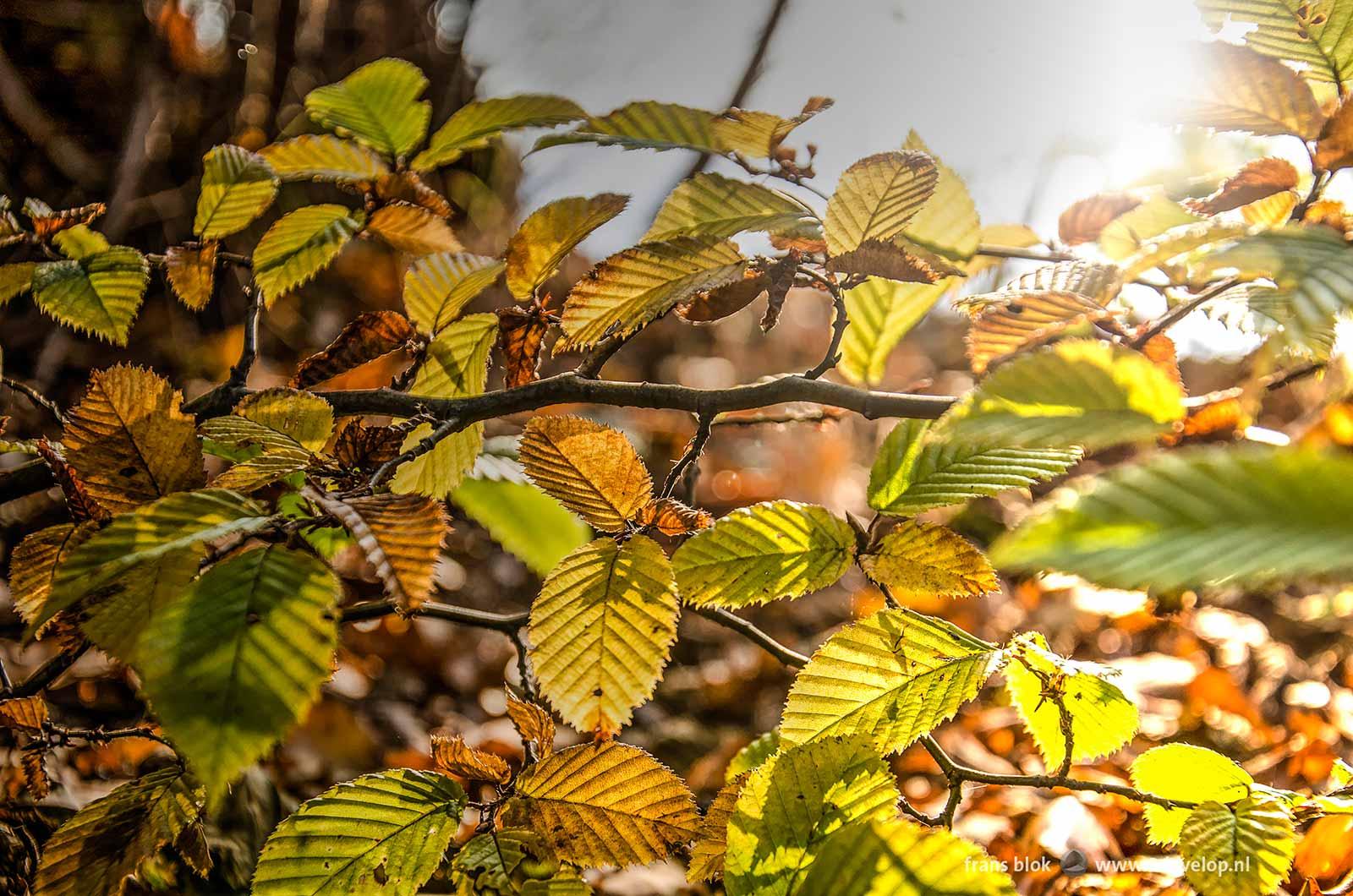 Joyful autumn image of beech leaves with backlight