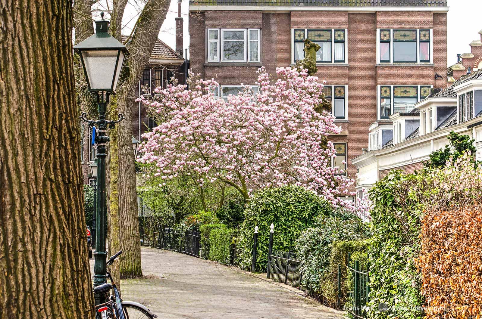 Een magnolia in bloei in de lente in een tuin aan de Hoflaan in Kralingen, Rotterdam