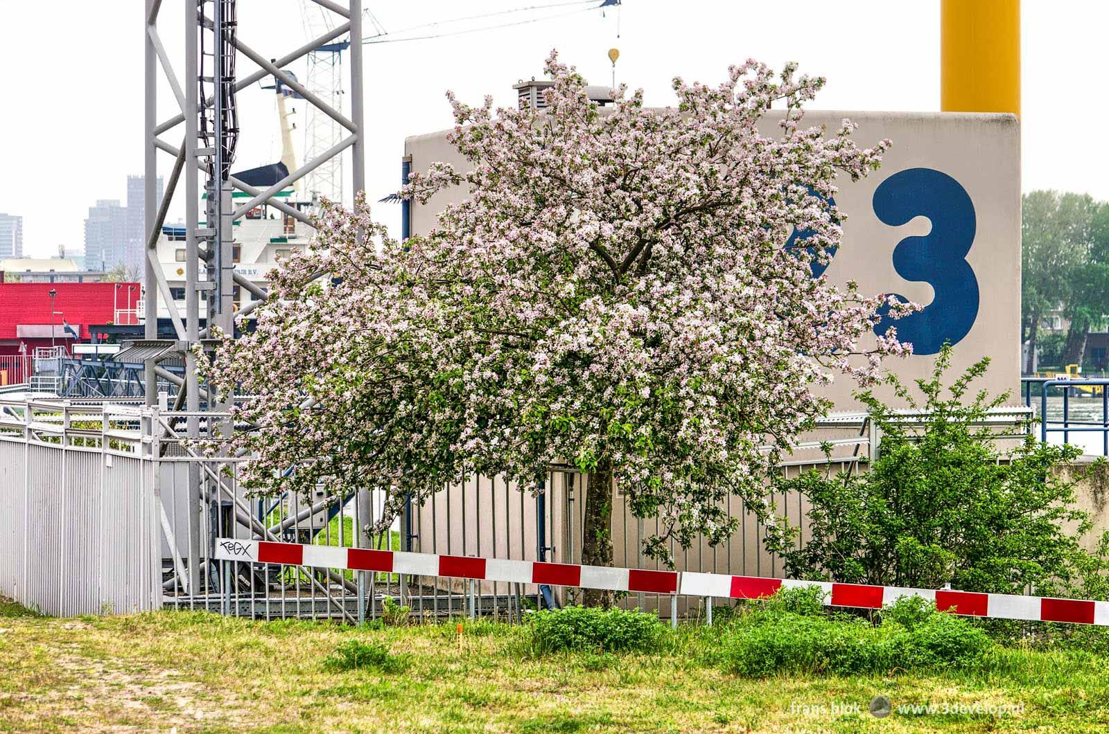 Bloeiende prunus in de lente op een wat merkwaardige plek op een industrieterrein bij het Mallegat in Rotterdam
